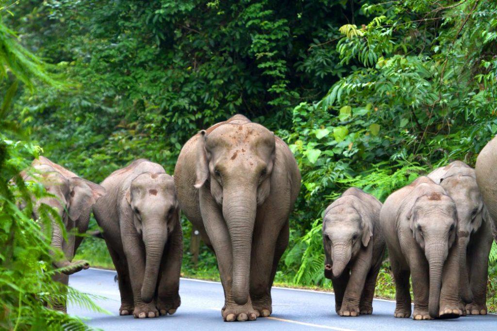 olifanten in Khao Yai